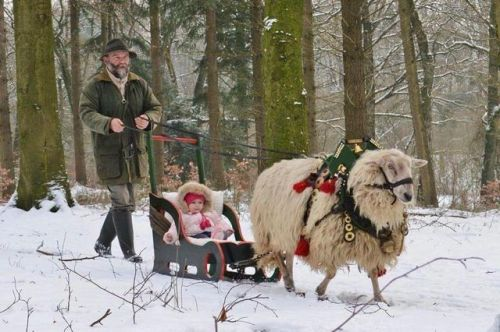 Sheep sledding